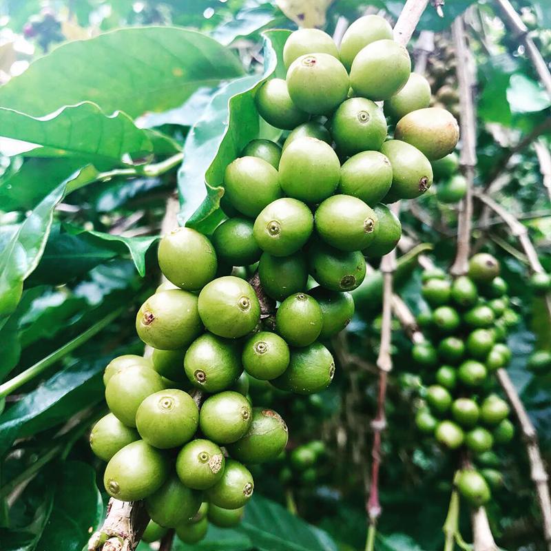 Toraja coffee, Indonesia